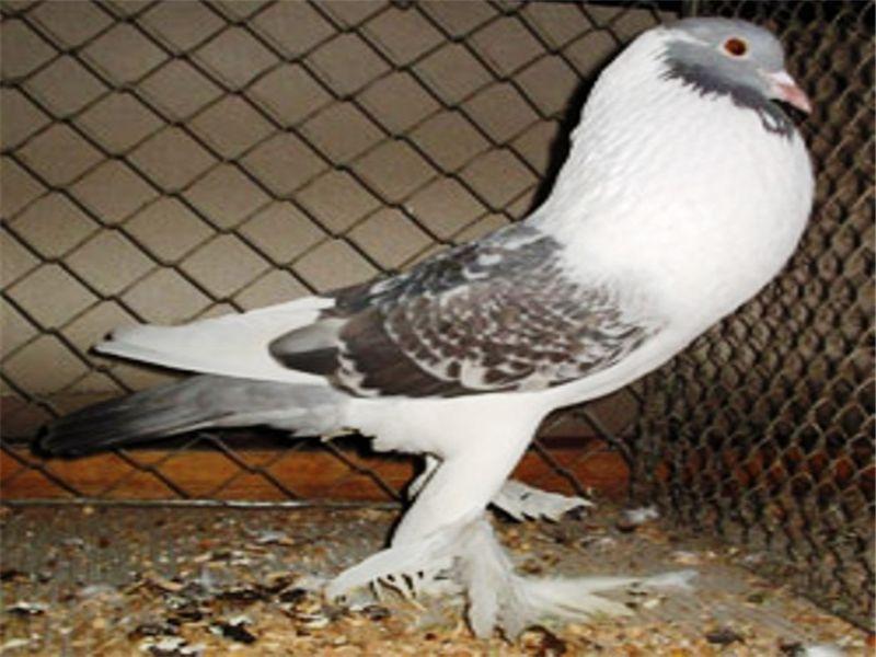 Дутыши –описание породы голубей, характеристика разновидностей