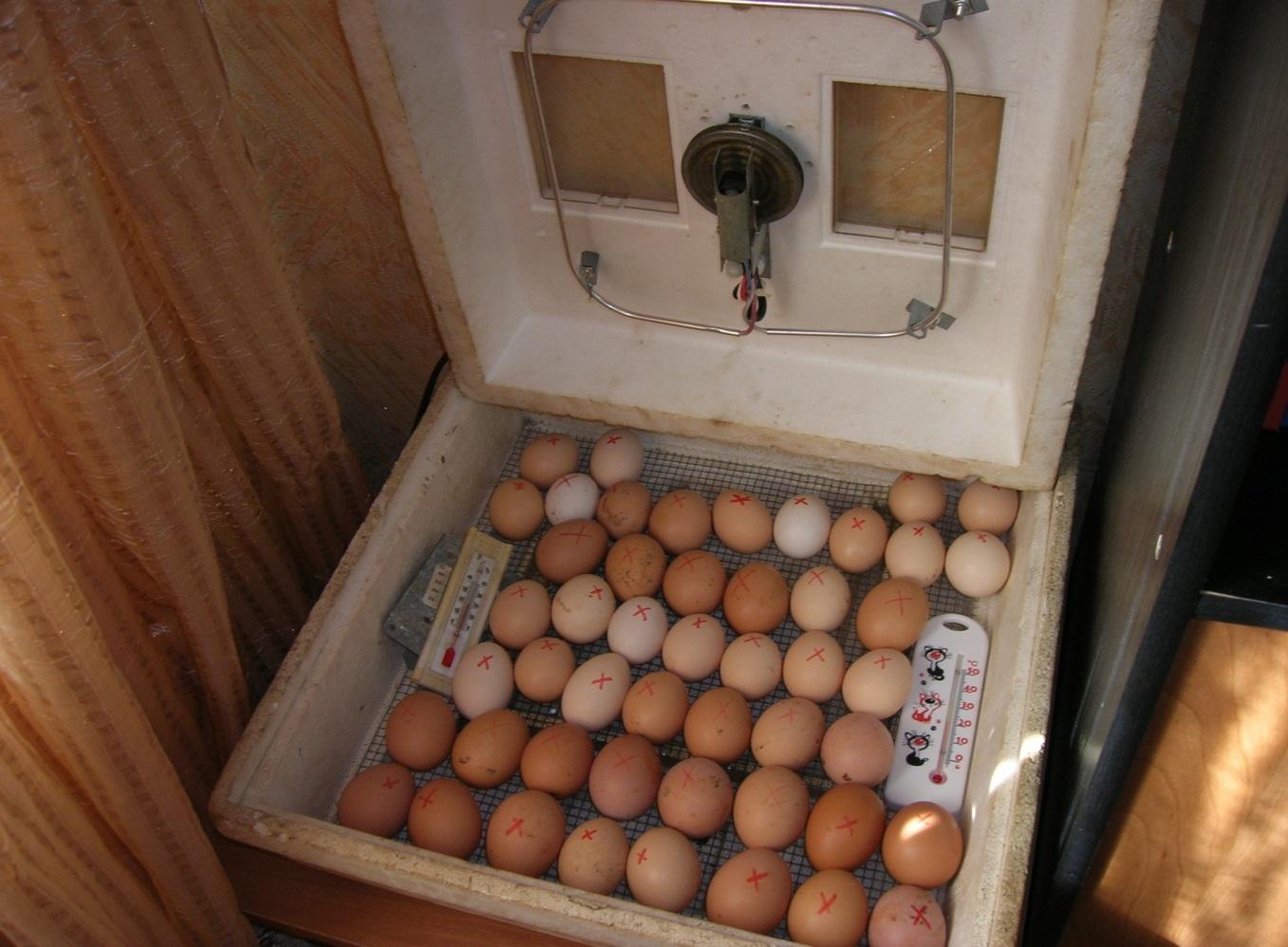 Как вывести цыплят в домашнем инкубаторе