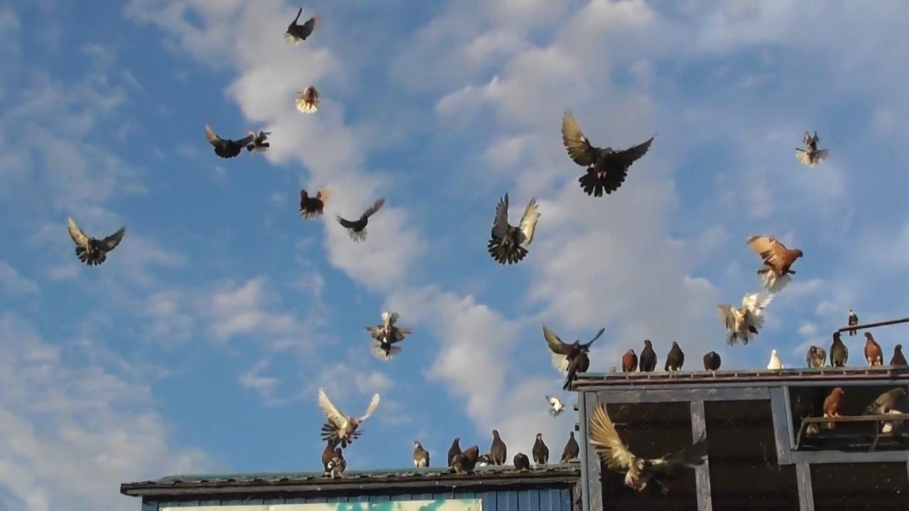 Голуби породы николаевские: летные характеристики и особенности