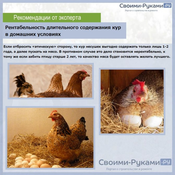 Чем кормить кур можно и что нельзя давать