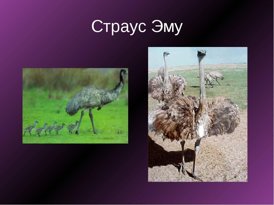 Сколько весит взрослый страус