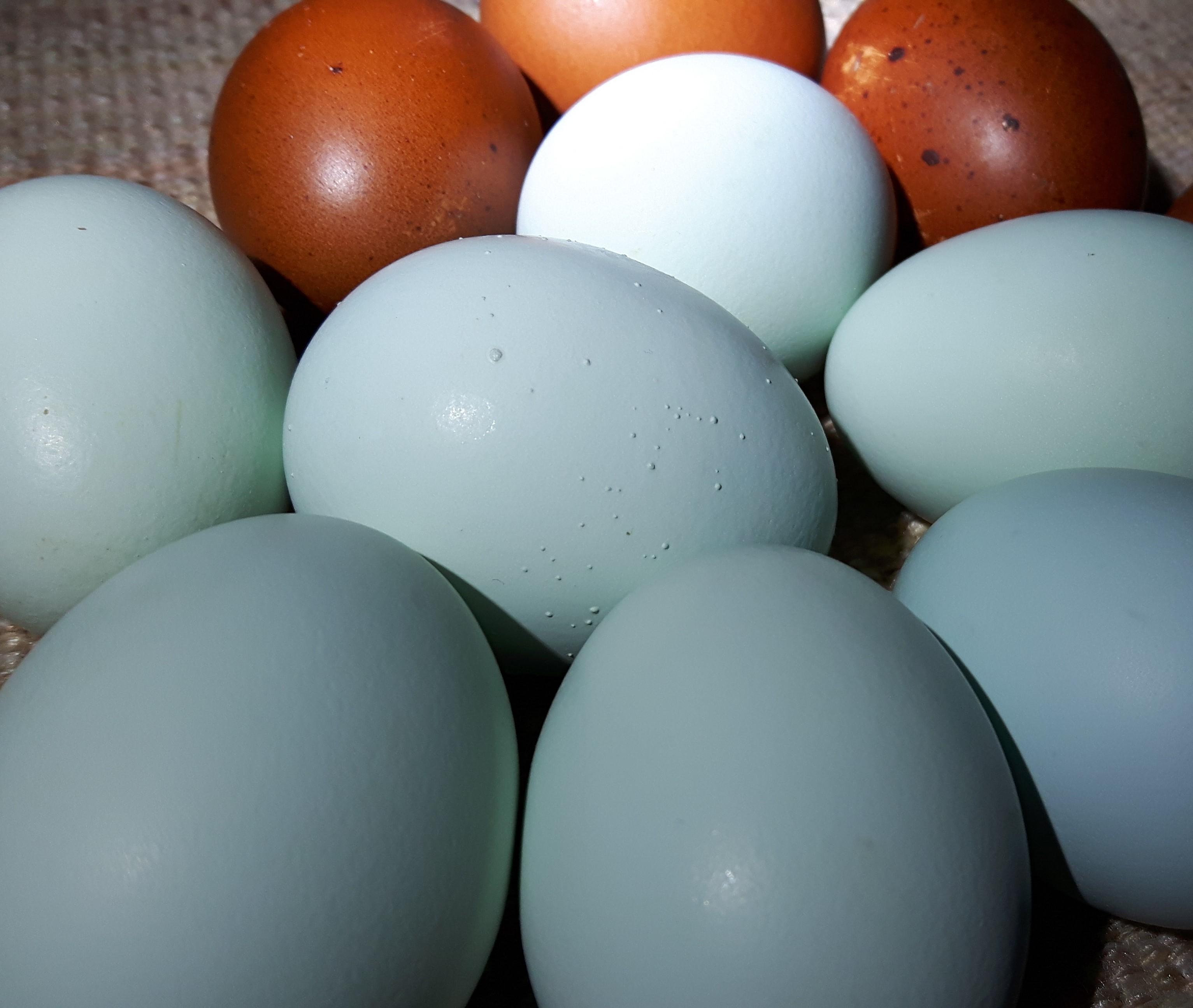 Амераукана - мясо-яичная порода кур. Описание, основные характеристики, особенности разведения и содержания, кормление