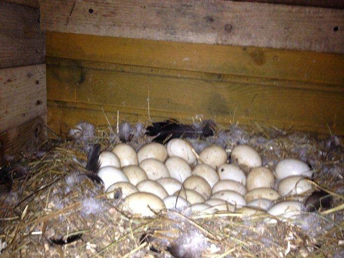 Как и сколько яиц можно подложить под индоутку