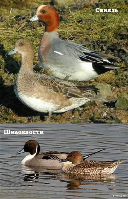 Коренастые свистунки утки Свиязь