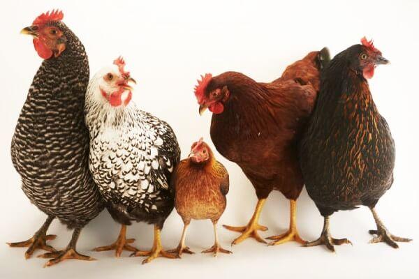 Зундхаймер - мясо-яичная порода кур. Описание, характеристики, содержание и уход, кормление, инкубация