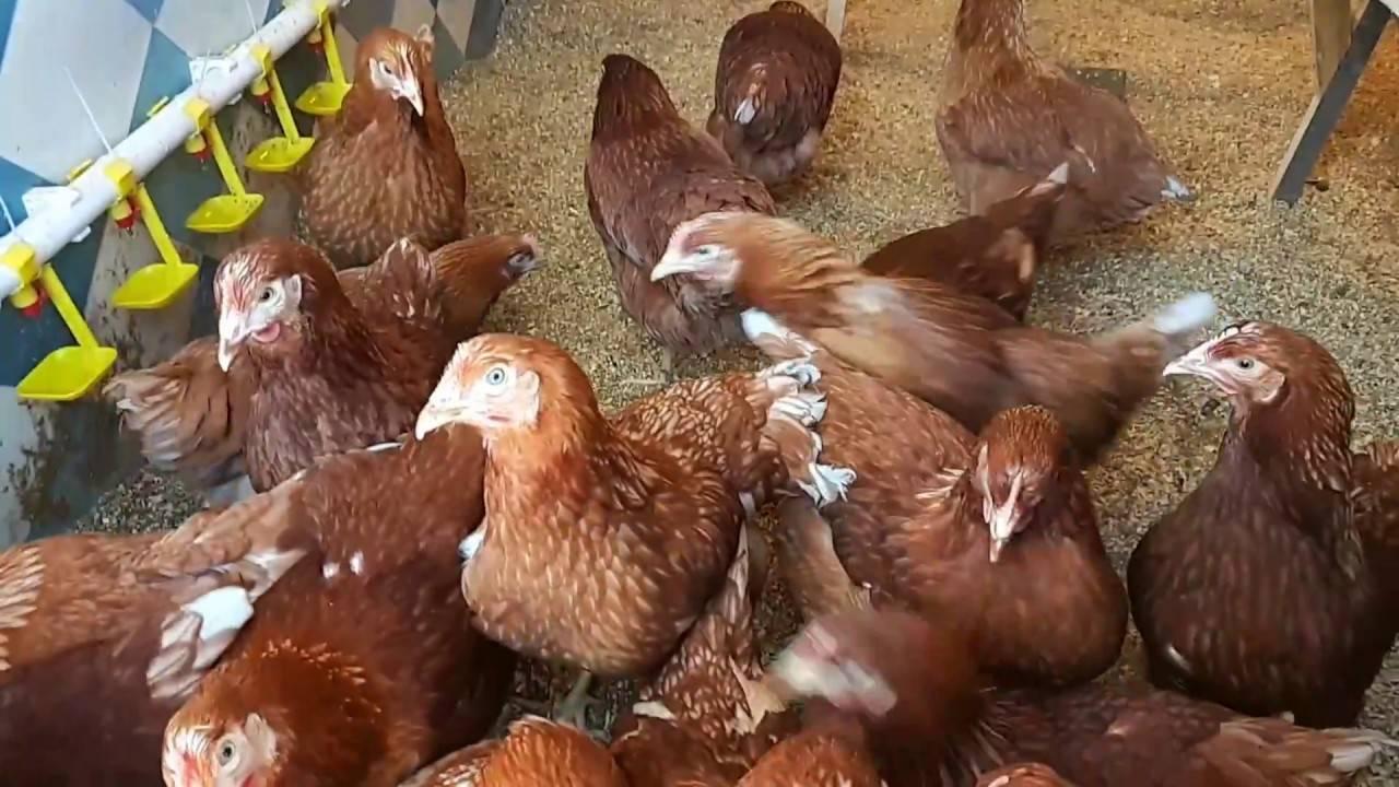 Хайсекс порода кур – описание, фото и видео
