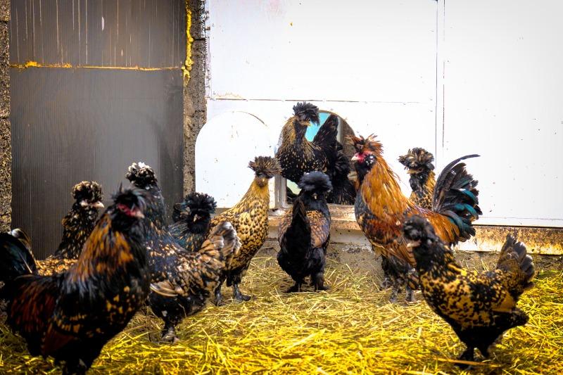 Тузо - бойцовая порода кур. Описание, особенности содержания, кормление, инкубация