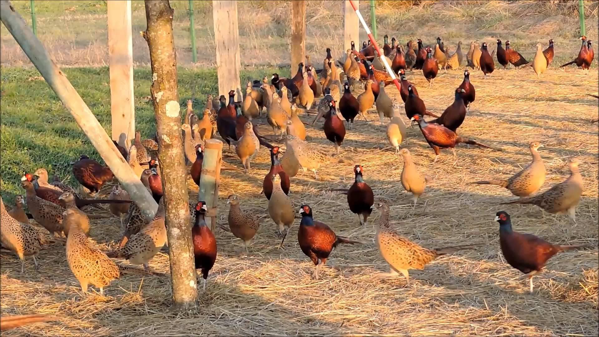 Обыкновенный фазан – содержание в вольере, продуктивные характеристики