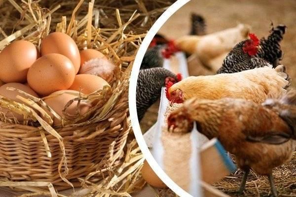 Почему куры не несутся зимой и чем кормить для хорошей яйценоскости