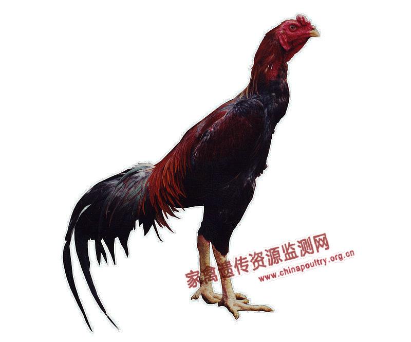 Якидо порода кур – характеристики японской бойцовой