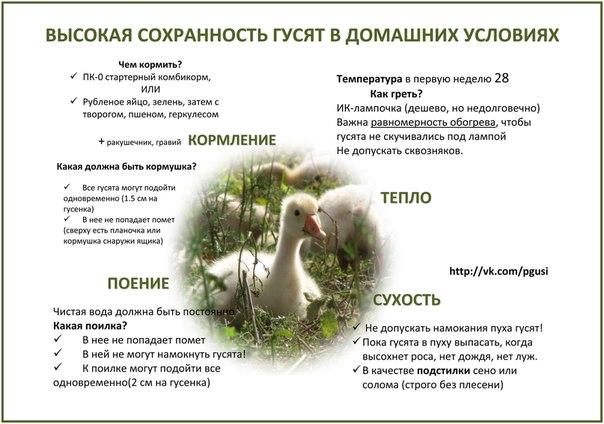 Все о правильном кормлении гусей