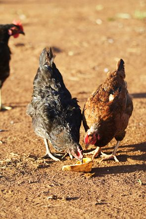 Овамбо порода кур – описание с фото и видео