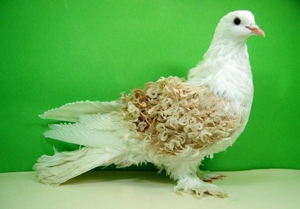 Породы голубей с перьями на лапах – внешний вид и достоинства самых необычных