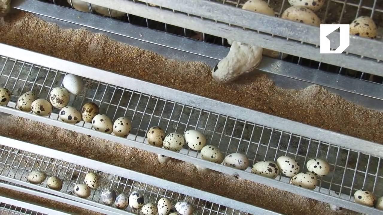 О выращивании перепелов: условия, технологии, выгоды