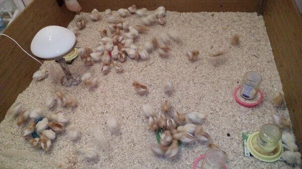 Как ухаживать за цыплятами с первого дня жизни