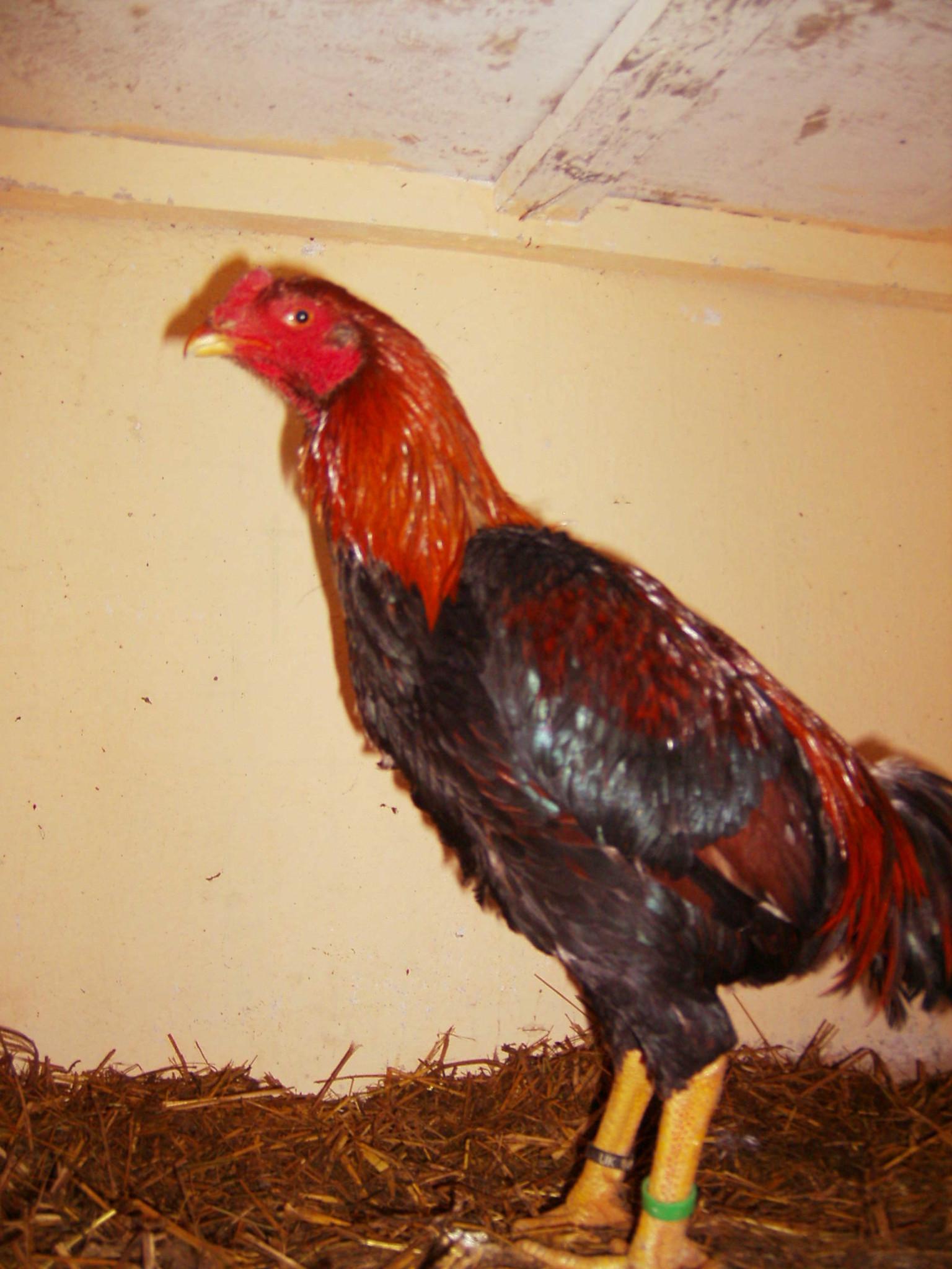 Хинт порода кур – описание с фото и видео