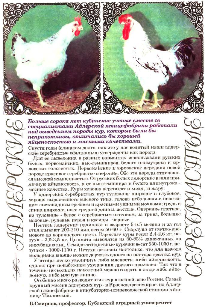 Аугсбургер - мясо-яичная порода кур. Описание, характеристики, содержание, кормление, инкубация