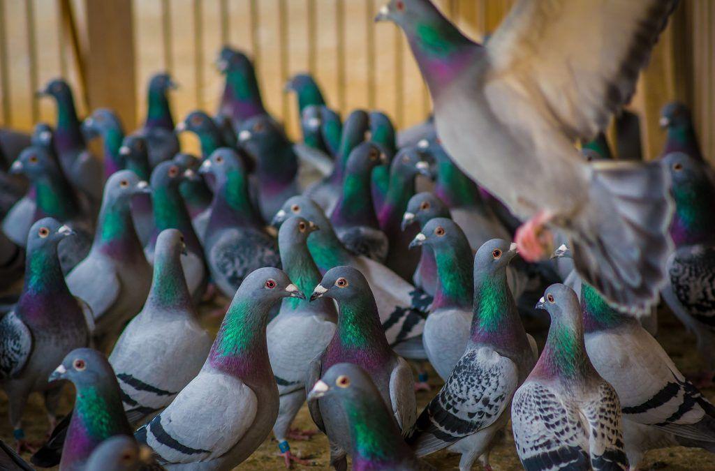 Борьба с сальмонеллезом голубей с помощью Виросальма