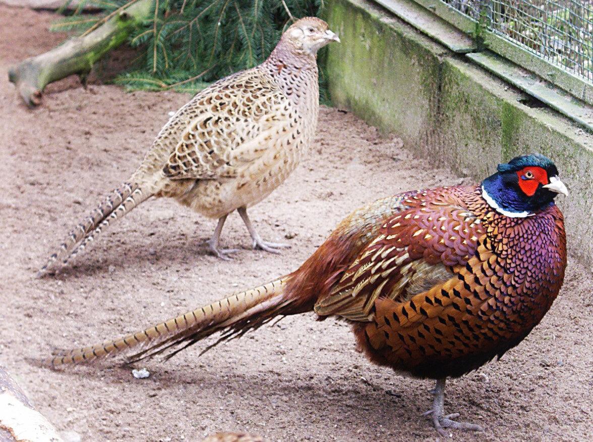 Виды и породы фазанов для домашнего разведения