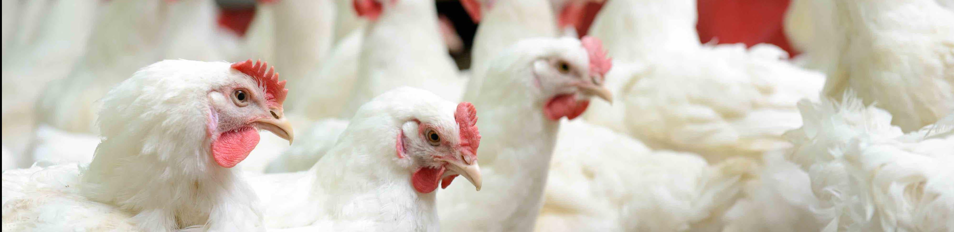 Нойлеры и куройлеры – новое достижение в селекции кур