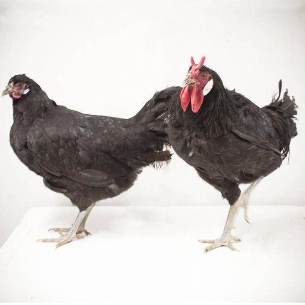 Ла Флеш порода кур – описание, фото и видео