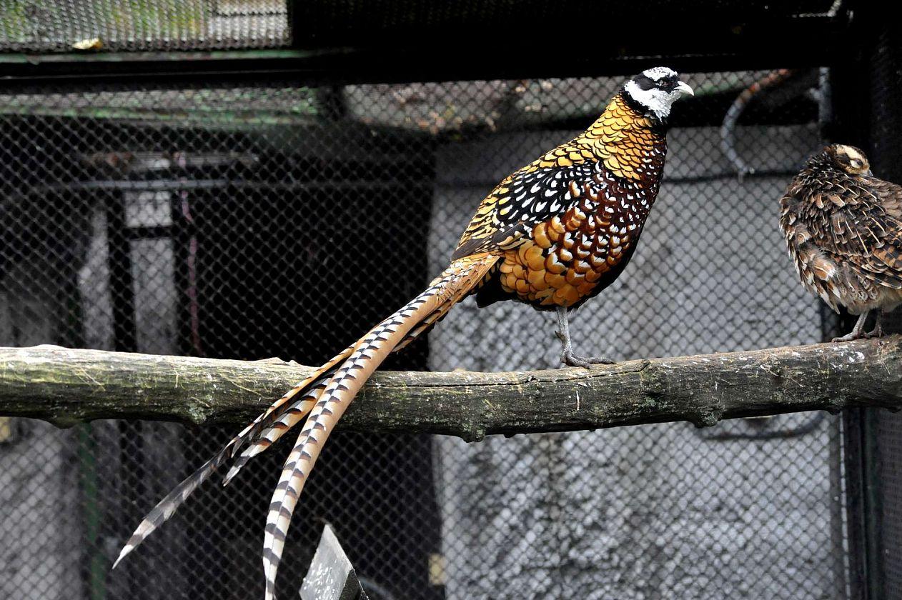 Королевские фазаны – фото, описание продуктивных качеств, особенности содержания