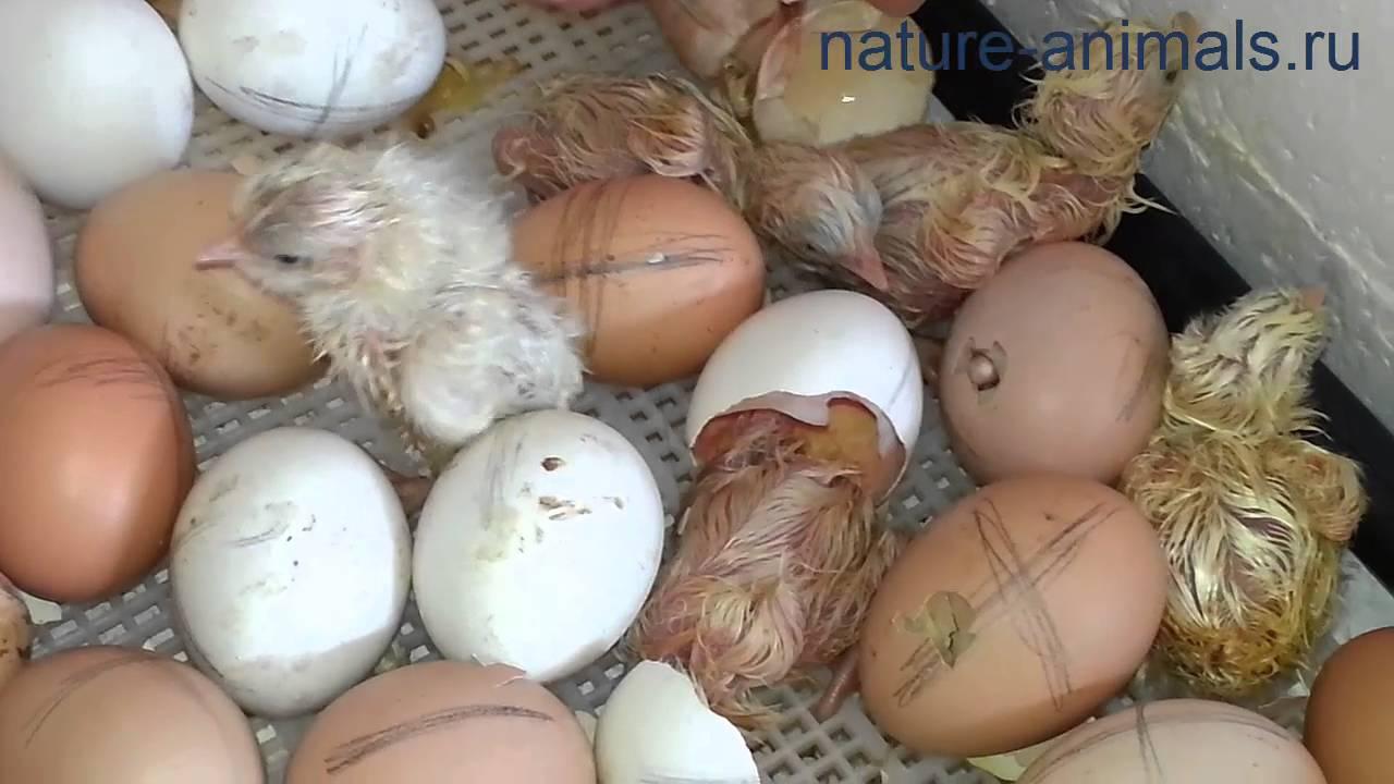 Инкубация голубиных яиц в инкубаторе: особенности и срок выведения