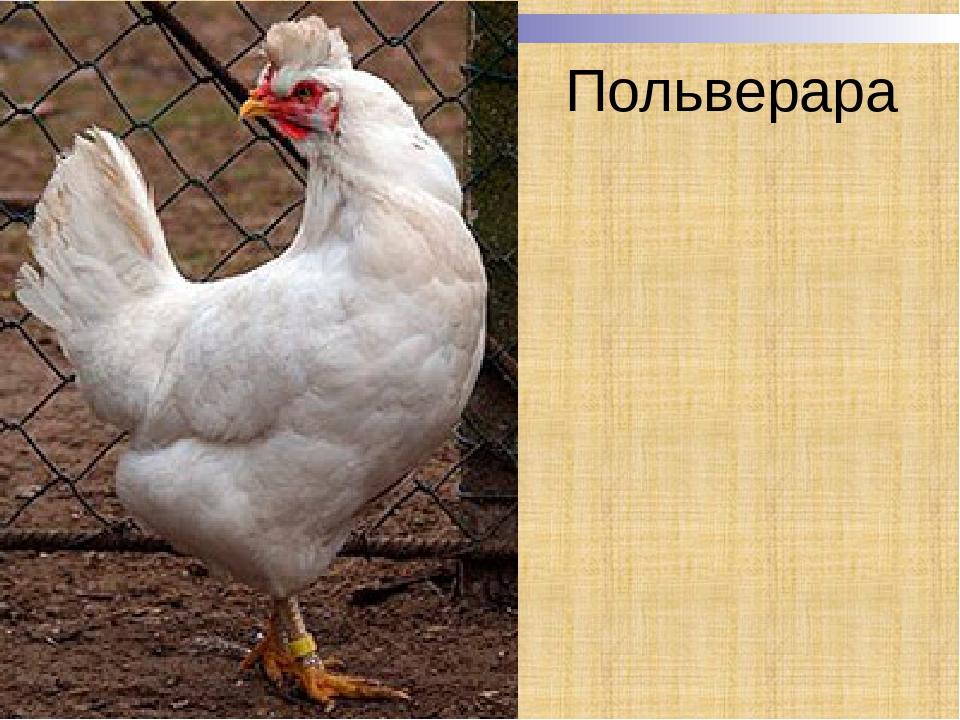 Польверара порода кур – описание с фото и видео