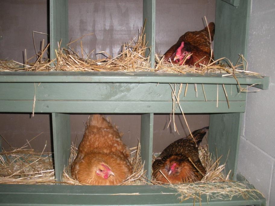 Несушки бьются за гнездо и сидят друг на друге?