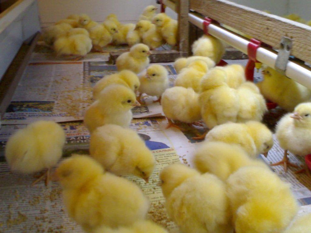 Выращиваем бройлеров на мясо, яйцо и цыплят
