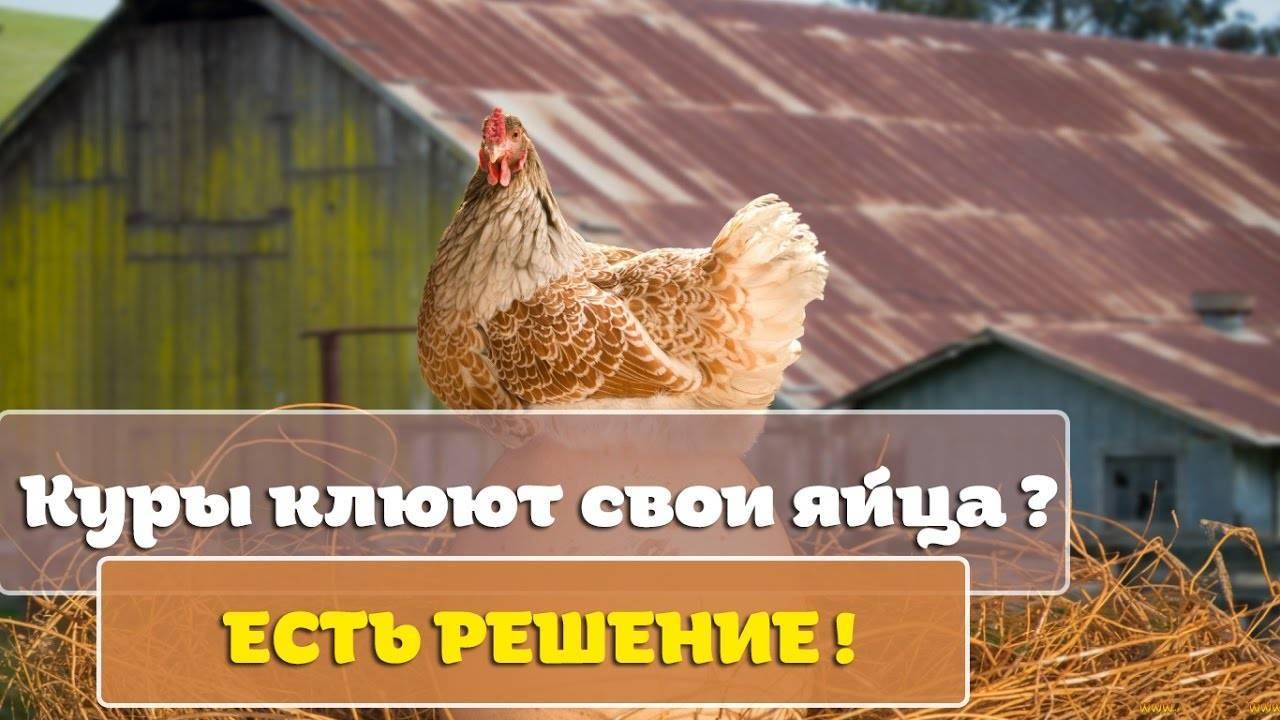 Почему куры клюют яйца и что с этим делать? Причины, правильное питание и условия содержания