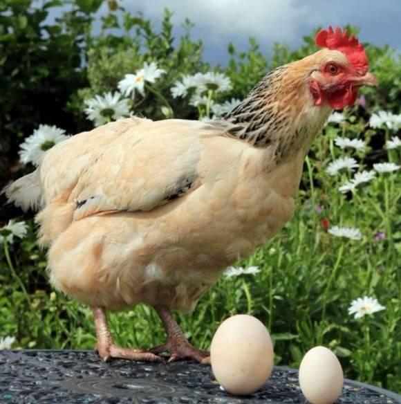 Цыплята клюют друг друга до крови – причины и способы решения