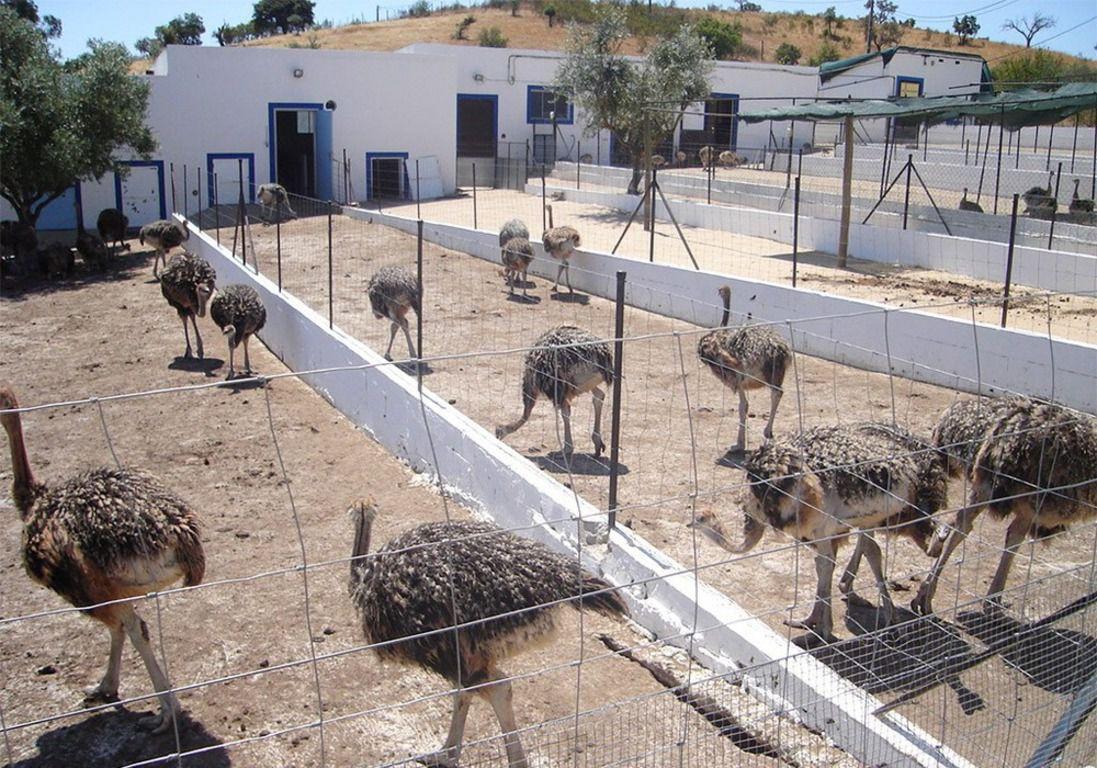 Особенности разведения страусов на российских фермах – основные моменты