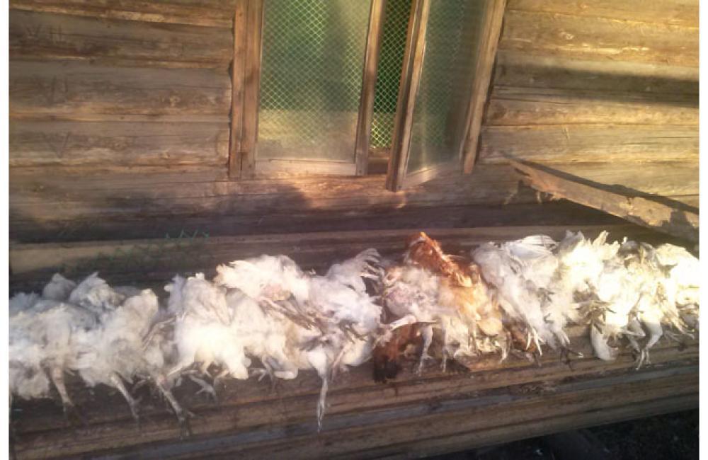Как избавиться от ласки в курятнике: как поймать или отпугнуть маленького хищника?