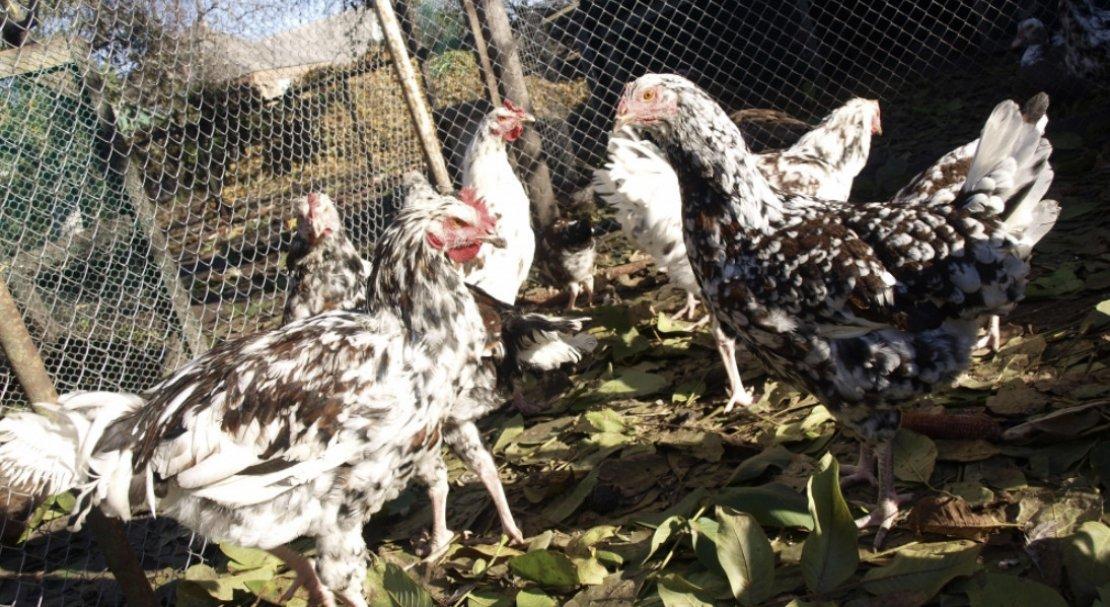 Ливенская порода кур – ситцевая, описание, фото и видео