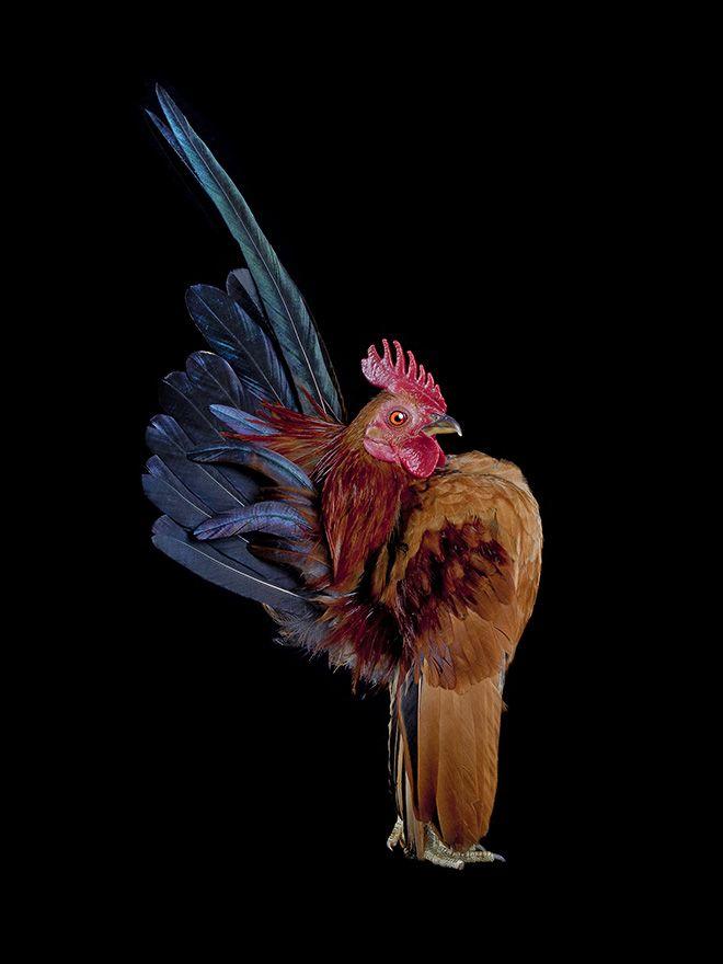 Куриный конкурс красоты фотографа Эрнеста Гох