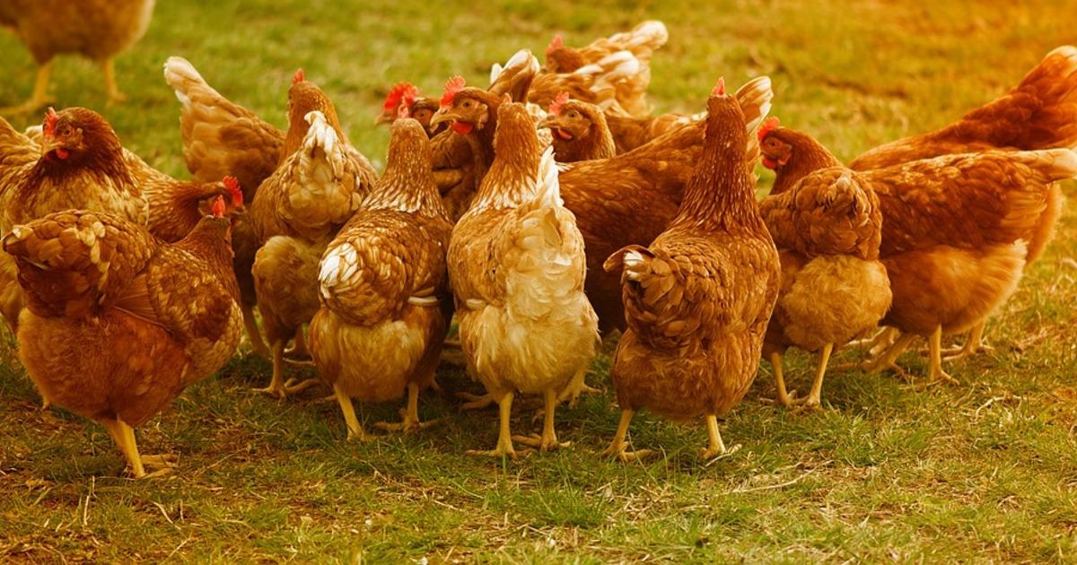 Ломан Уайт - яичный кросс кур. Описание, характеристики, особенности выращивания и кормления