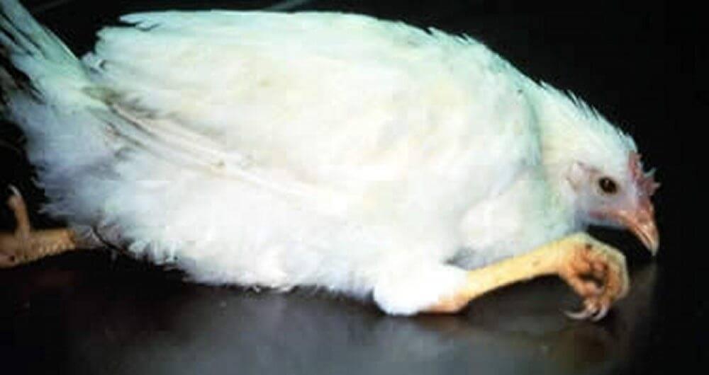 Симптомы кокцидиоза у кур и лечение