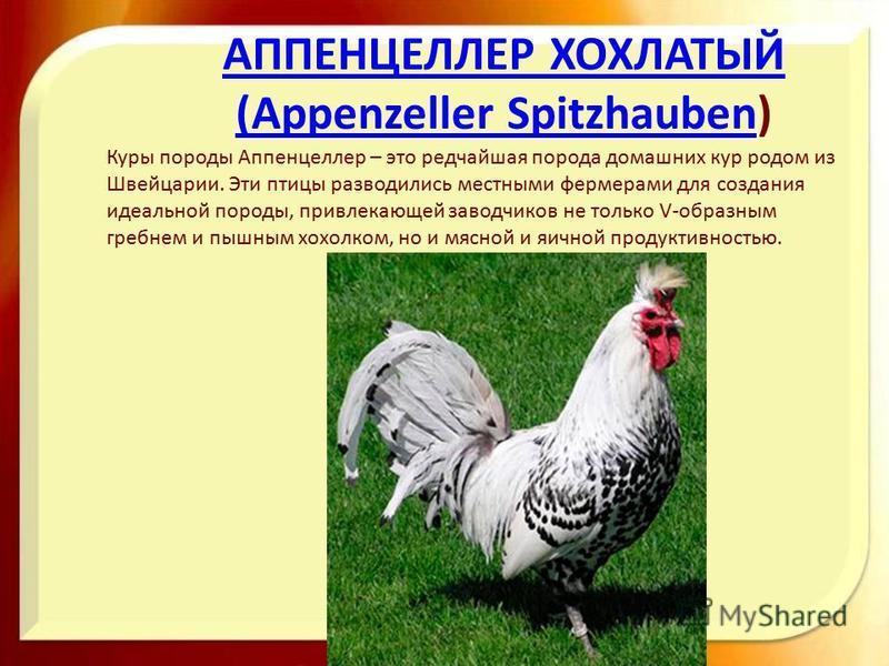 Аппенцеллер порода кур – описание хохлатой, фото и видео