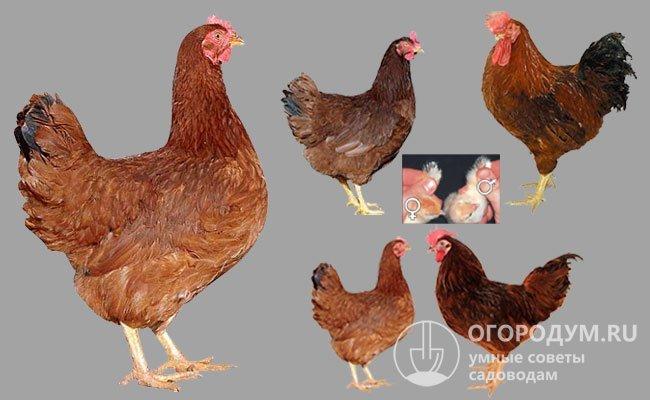 Редбро порода кур– описание, фото и видео