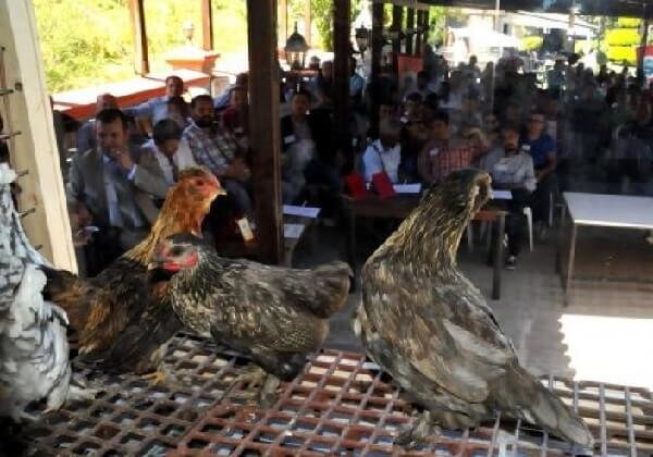 Денизли порода кур – описание с фото и видео