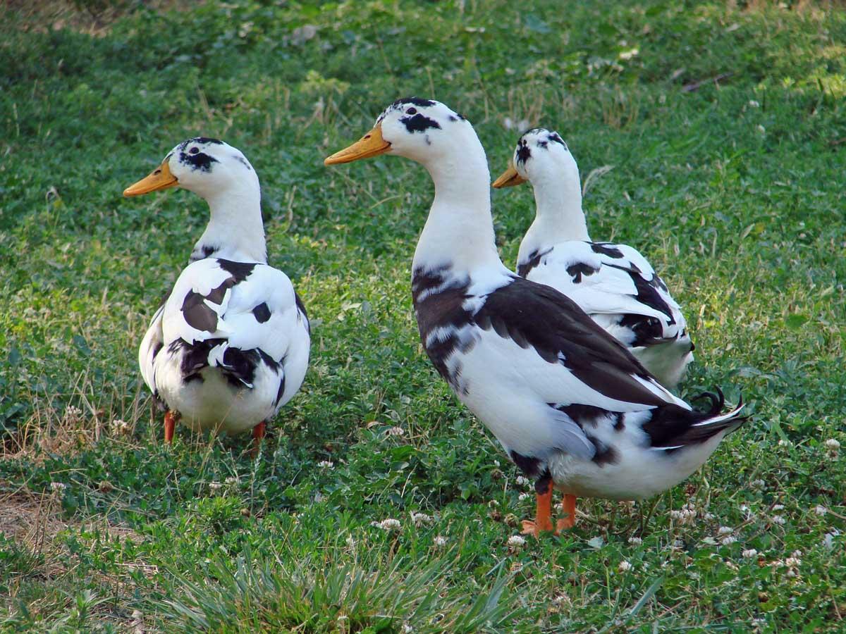 Белая карликовая утка — описание декоративных качеств и условий содержания