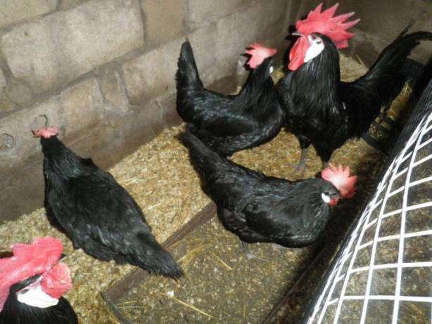 Минорка порода кур – описание, фото и видео