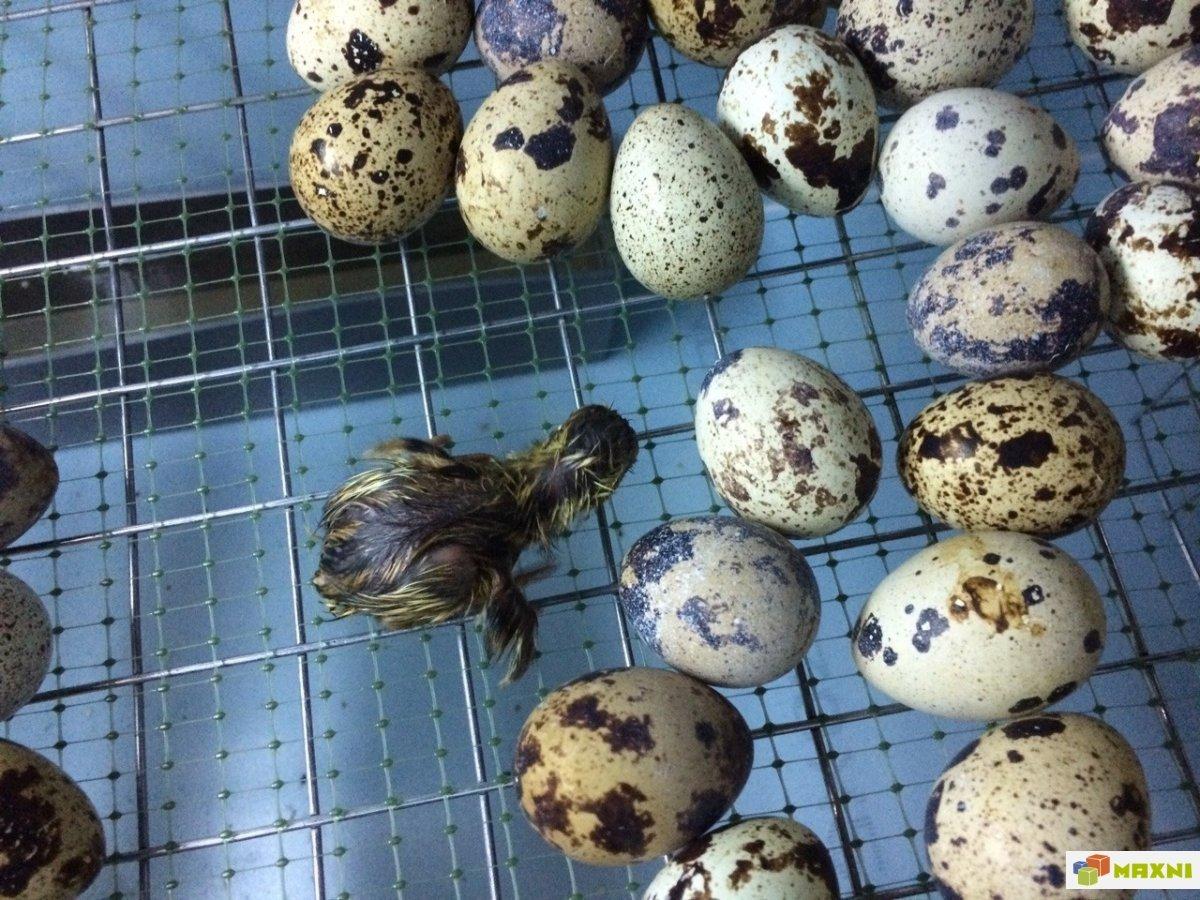 Почему перепела не несут яйца?