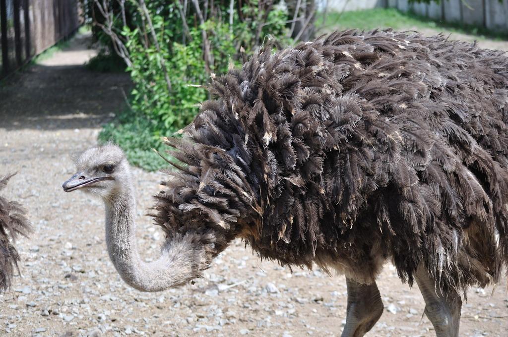 Болезни страусов – симптомы наиболее распространенных и опасных