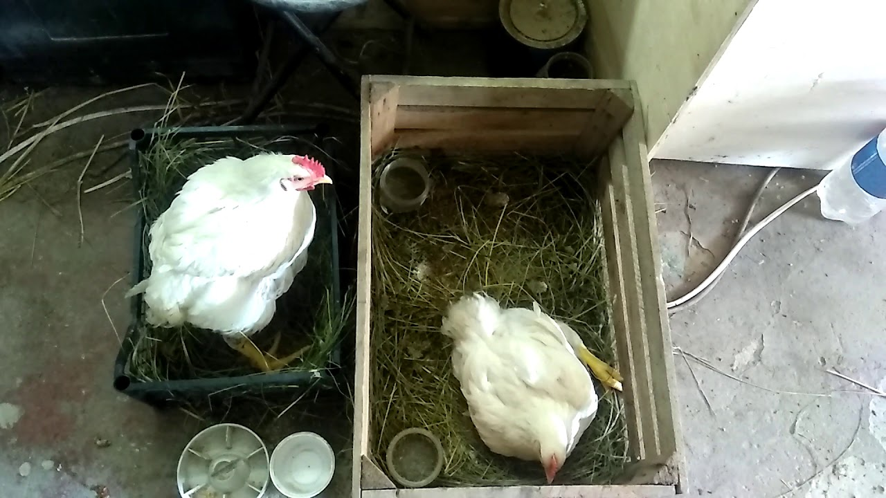 Что делать, если бройлеры падают на ноги: как вылечить цыплят