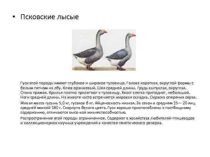Псковские лысые гуси – какие качества делают их удобными в содержании