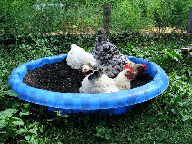 Зольная ванна для кур и состав пыли для купания