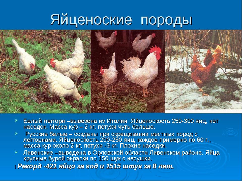 Адлерская серебристая - мясо-яичная порода кур. Описание, основные характеристики, содержание, кормление и инкубация