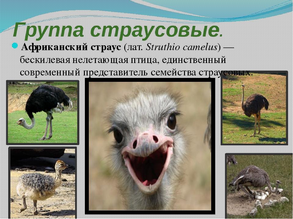 Африканский страус: описание породы и интересные факты